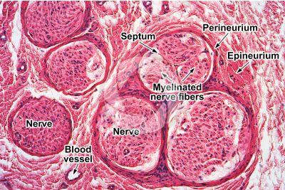 Mammal. Nerve. Transverse section. 125X