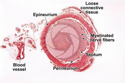 Mammal. Optic nerve. Transverse section. 32X