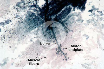Mammal. Neuromuscular junction. 64X