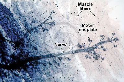 Mammal. Neuromuscular junction. 125X