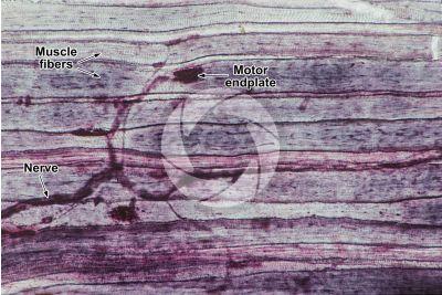 Mammal. Neuromuscular junction. 250X