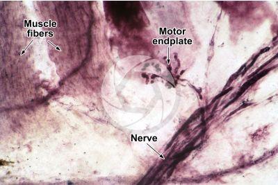 Mammal. Neuromuscular junction. 500X