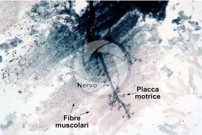 Mammifero. Giunzione neuromuscolare. 64X