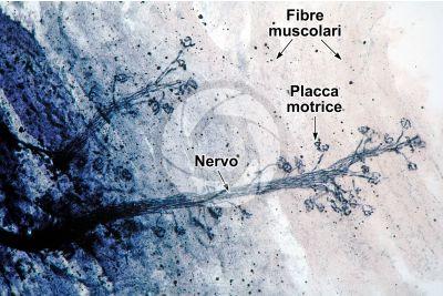 Mammifero. Giunzione neuromuscolare. 125X