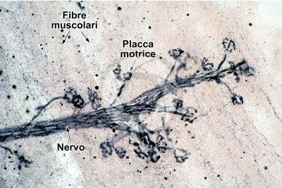Mammifero. Giunzione neuromuscolare. 250X