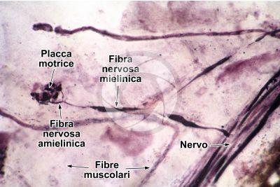 Mammifero. Giunzione neuromuscolare. 500X
