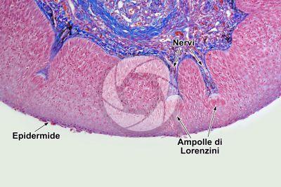 Cyprinus sp. Ampolla di Lorenzini. Sezione trasversale. 125X
