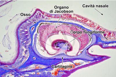 Lacerta sp. Lucertola. Organo di Jacobson. Sezione longitudinale. 125X