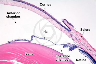 Mammal. Lacrimal gland. Transverse section. 10X