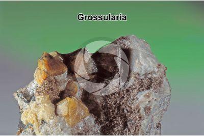 Grossularia