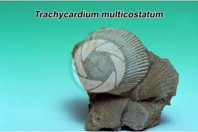 Trachycardium multicostatum. Bivalve. Fossil. Pleistocene