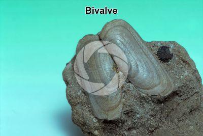 Bivalvia. Bivalve. Fossil. Pleistocene