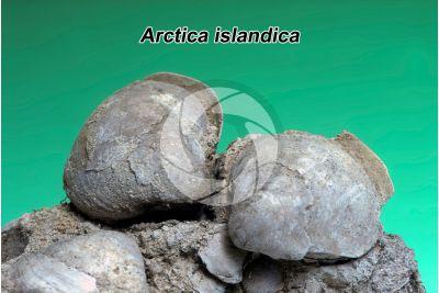 Arctica islandica. Vongola oceanica. Fossile. Pleistocene