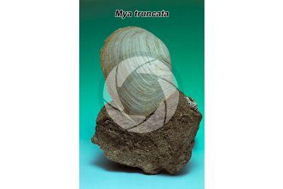 Mya truncata. Mia troncata. Fossile. Quaternario