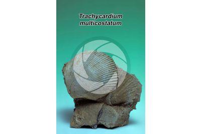 Trachycardium multicostatum. Bivalve. Fossile. Pleistocene
