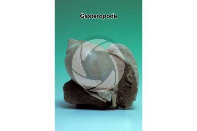 Gastropoda. Gasteropode. Fossile. Pleistocene