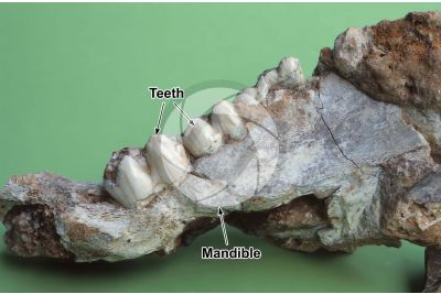 Sus scrofa. Wild boar. Mandible. Fossil. Quaternary