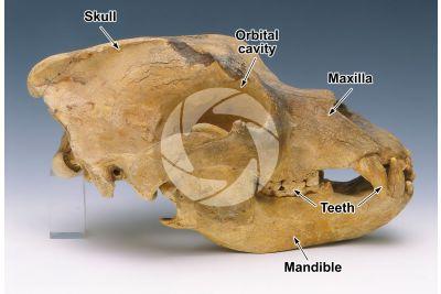 Ursus spelaeus. Cave bear. Skull. Fossil. Pleistocene