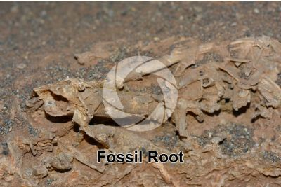 Root on Travertine. Trace fossil. Quaternary