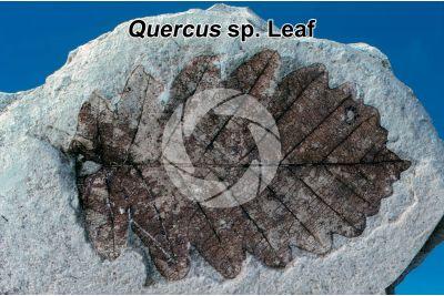 Quercus sp. Oak. Leaf. Fossil. Quaternary. Val Vigezzo. Piedmont. Italy