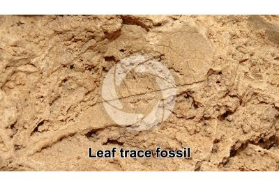 Leaf on Travertine. Trace fossil. Quaternary