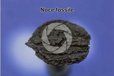 Noce. Fossile lignitizzato. Pleistocene