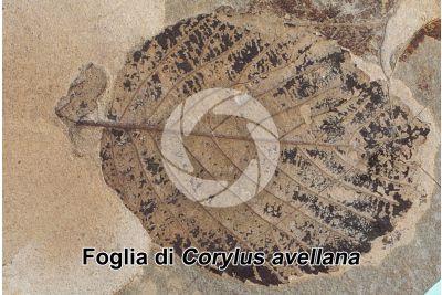 Corylus avellana. Nocciolo. Foglia. Fossile. Quaternario. Val Vigezzo. Piemonte. Italia