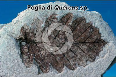 Quercus sp. Quercia. Foglia. Fossile. Quaternario. Val Vigezzo. Piemonte. Italia