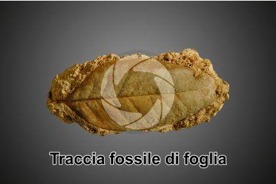 Foglia su Travertino. Traccia fossile. Quaternario