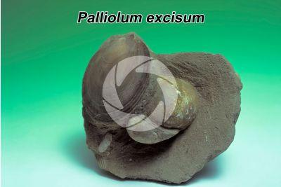 Palliolum excisum. Bivalve. Fossil. Pliocene