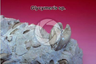Glycymeris sp. Bivalve. Fossile. Pliocene