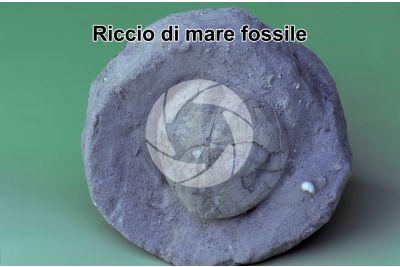 Echinodermata. Riccio di mare. Fossile. Pliocene