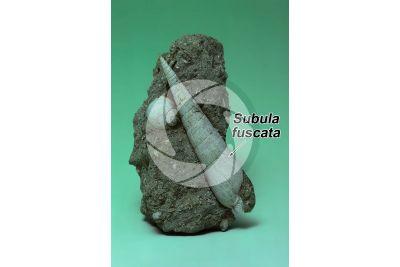 Subula fuscata. Gastropod. Fossil. Pliocene