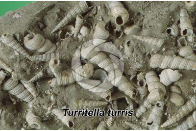 Turritella turris. Gasteropode. Fossile. Miocene