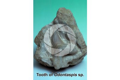 Odontaspis sp. Sand shark. Tooth. Fossil. Miocene