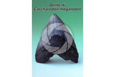 Carcharodon megalodon. Squalo. Dente. Fossile. Miocene