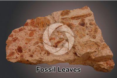 Leaf. Fossil. Early Pliocene
