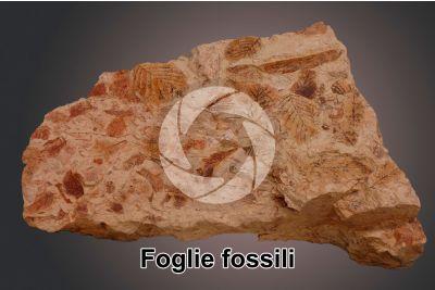 Foglia. Fossile. Pliocene inferiore
