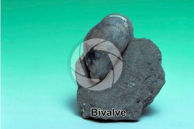 Bivalvia. Bivalve. Fossil. Eocene
