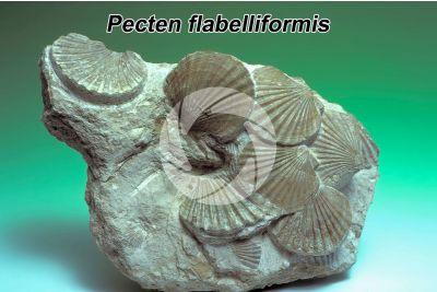 Pecten flabelliformis. Bivalve. Fossile. Eocene