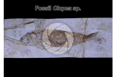 Clupea sp. Fish. Fossil. Eocene