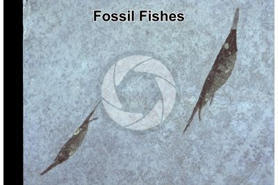 Fish. Fossil. Eocene. Bolca. Veneto. Italy