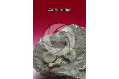 Ammonoidea. Ammonite. Fossil. Cretaceous