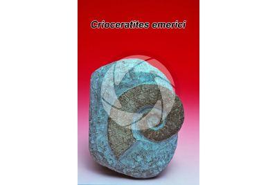 Crioceratites emerici. Ammonite. Fossile. Cretaceo