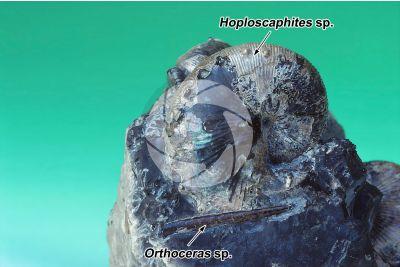Hoploscaphites sp. e Orthoceras sp. Ammonite e Belemnite. Fossile. Cretaceo