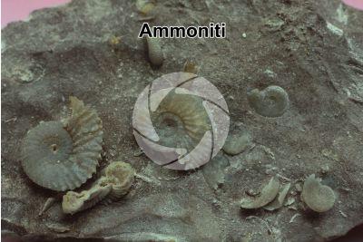 Ammonoidea. Ammonite. Fossile. Cretaceo