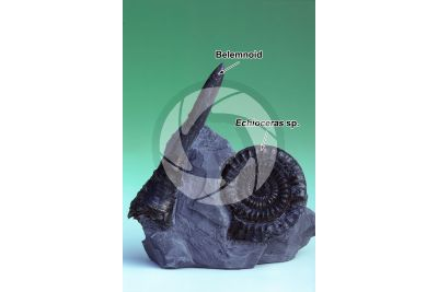 Belemnoidea and Echioceras sp. Belemnoid and Ammonite. Fossil. Cretaceous