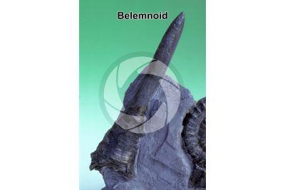 Belemnoidea. Belemnoid. Fossil. Cretaceous