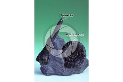 Belemnoidea e Echioceras sp. Belemnite e Ammonite. Fossile. Cretaceo