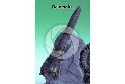 Belemnoidea. Belemnite. Fossile. Cretaceo